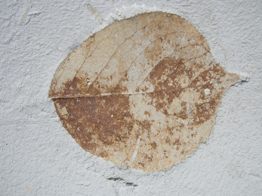 Actinidia (?) pliocenica Knobloch, 1998