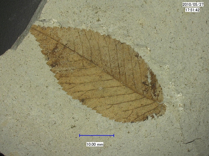 aff. Carpinus sp.
