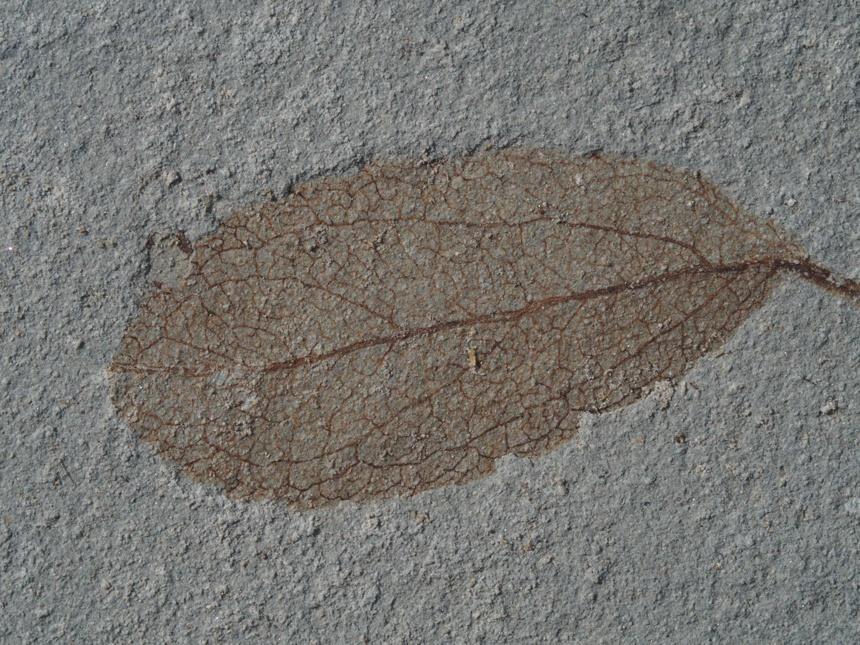 Dicotylophyllum sp.