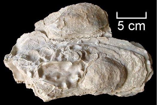 Crassostrea gryphoides (SCHLOTHEIM)
