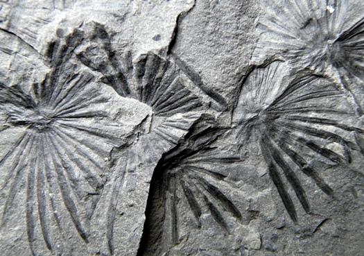 Annularia spinulosa