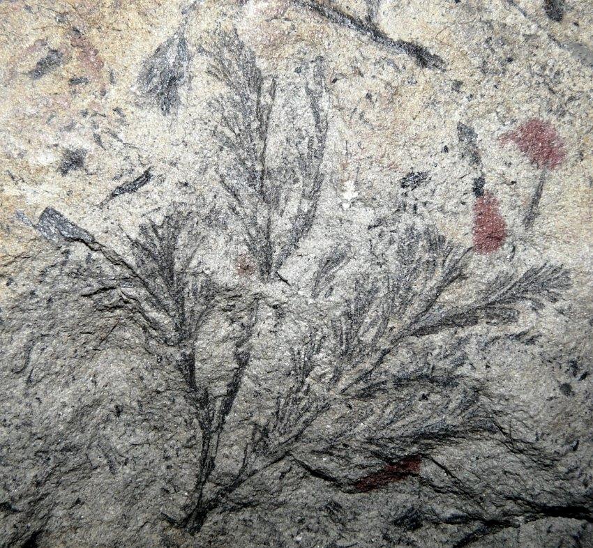Dichophyllum flabellifera