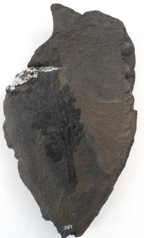 Spenopteris dichotoma