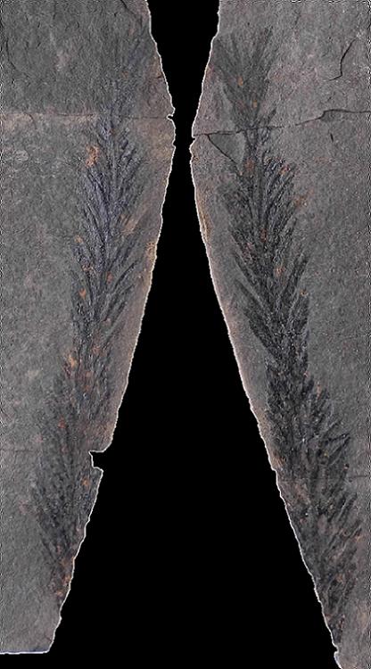 Pseudovoltzia liebeana