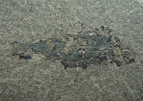 Acentrophorus glaphyrus Agassiz