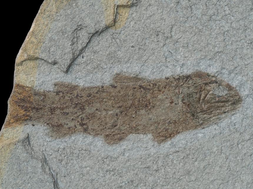 Coelacanthus granulatusAgassiz, 1839