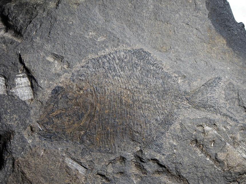 Platysomus gibbosus (Blainville, 1818)