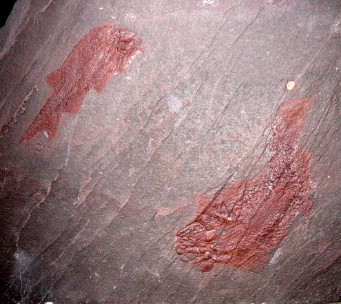 Amblypterus und Paramblypterus