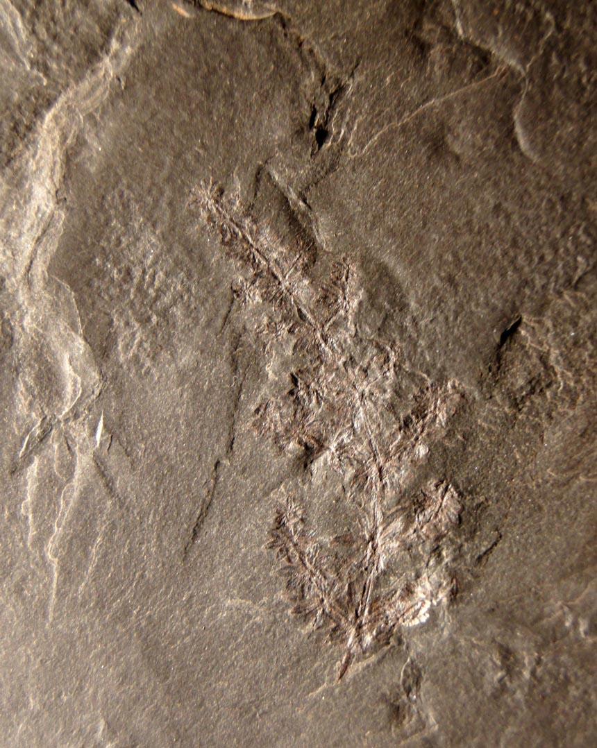 Annulari spicata Gutbier 1849