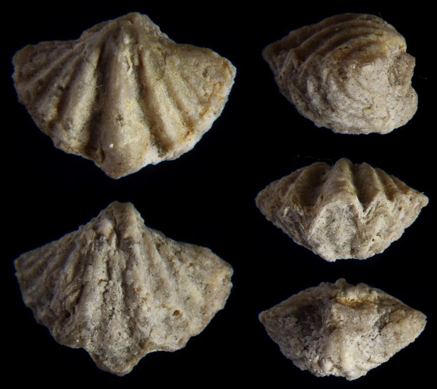 Brachiopode Spiriferellina cristata (SCHLOTHEIM 1820)