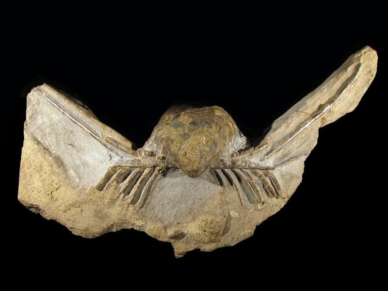 Horridonia horrida (Sowerby 1822) var. auritulus (Eisel 1908)