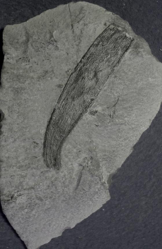 Plagiozamites c. belli