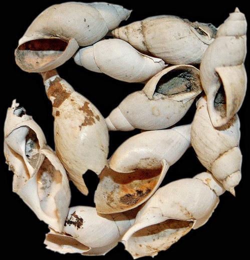 Stagnicola turricula