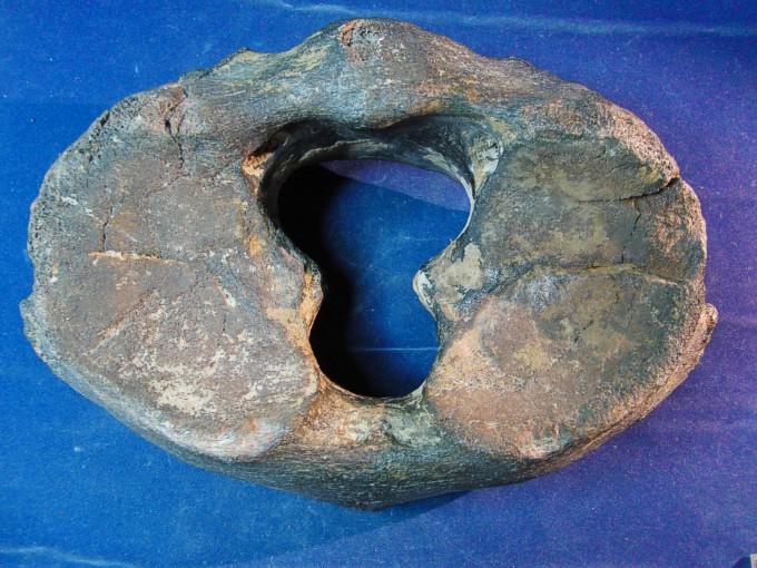 Mammuthus primigenius (Blumenbach)