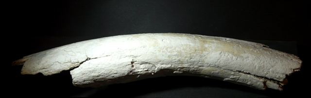 Mammuthus sp.