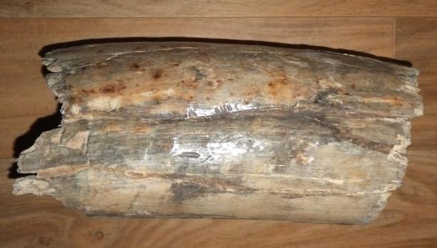 Mammutstoßzahn