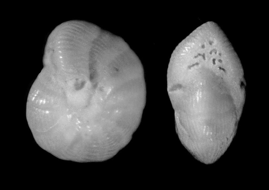 Coscinospira hemprichii EHRENBERG, 1839