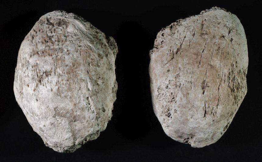 Kniescheiben (Patella) vom Höhlenbär
