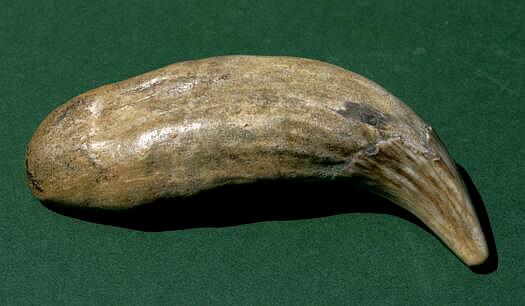 Eckzahn vom Hoehlenbaer (Ursus spelaeus ROSENMÜLLER)