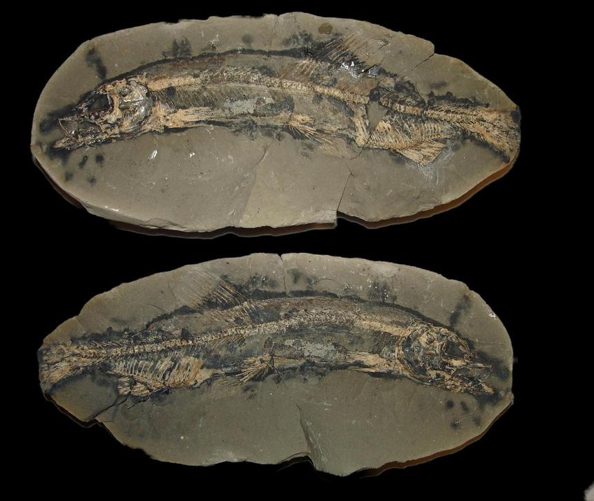 Mallotus villosus (Müller, 1776)
