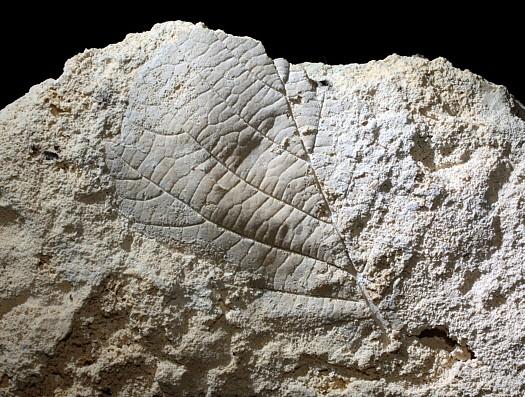 Corylus avellana, Gemeine Hasel