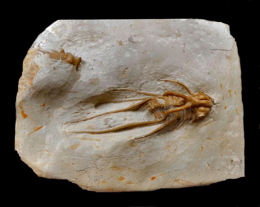 Dicranus monstrosus
