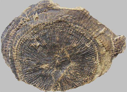 Sprossgipfel von Equisetites arenaceus