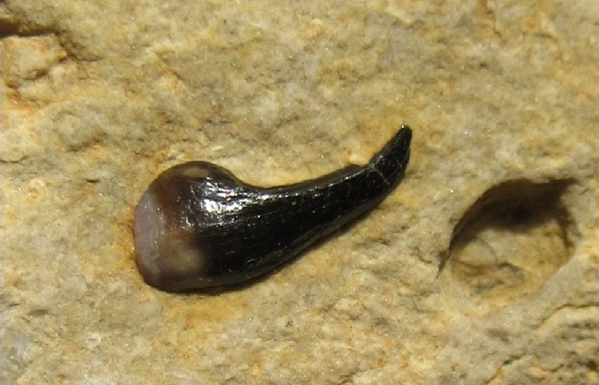 Placodontier Zahn