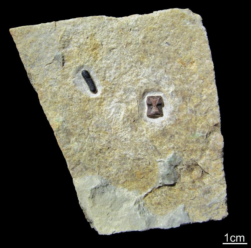 Sauropterygia-Wirbel und Zahn von Palaeobates sp.