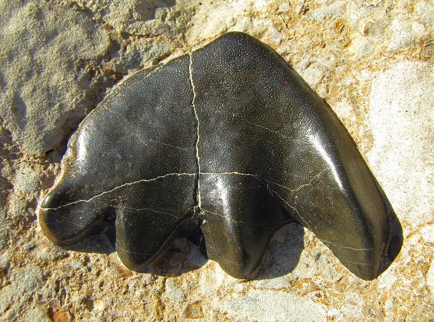 Ceratodus sp.