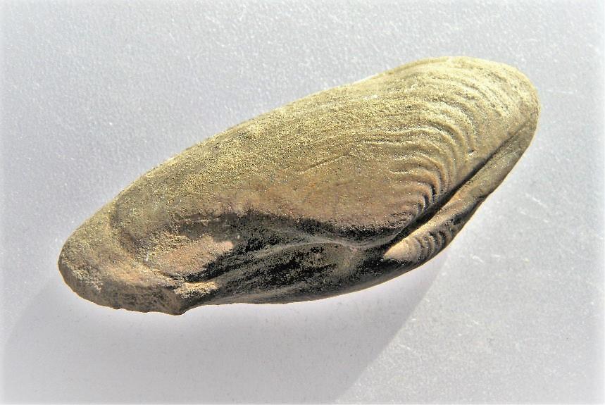 Homomya albertii