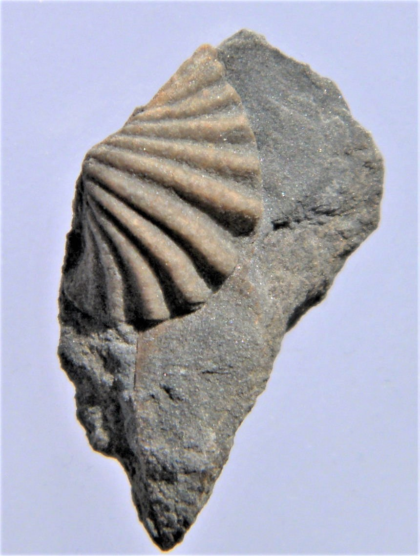 Punctospirella fragilis