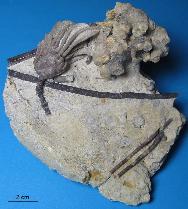 Carnallicrinus carnalli (Beyrich 1856)