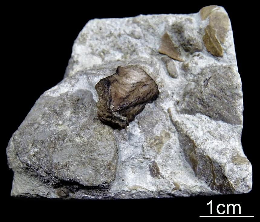 Conchorhynchus avirostris