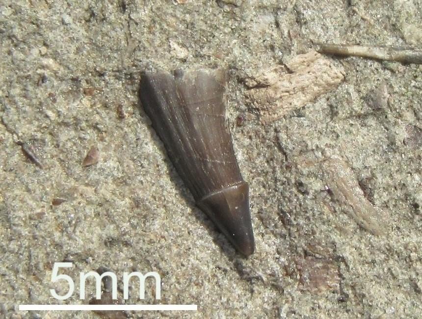 Zahn von Saurichthys apicalis (Agassiz 1834)