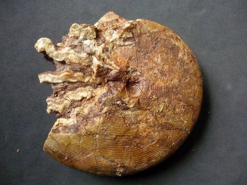 Hypocladiscites subtornatus