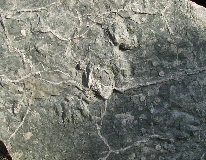 Chirotherium barthii und Synaptichnium sp.