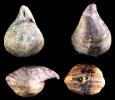 Brachiopode Bornhardtina sp.