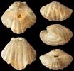 Brachiopode Pentamerella davidsoni (SCHNUR, 1853)