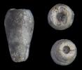 Crinoide Bactrocrinites tenuis (JAECKEL, 1895)