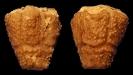 Crinoide Megaradialocrinus turritus (BOHATÝ, 2006e)