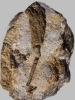Crinoide Vasocrinus sp.