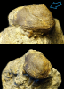 Brachiopode Schizophoria sp. mit inartikulatem Brachiopoden