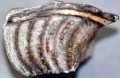 Pleuroncoceras sp.