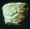 Stylocrinus granulatus HAUSER