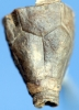 Procupressocrinites gracilis