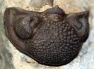 Trilobiten