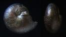 Goniatit Tornoceras arkonense