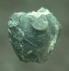 Crinoide Gasterocoma antiqua GOLDFUSS 1838