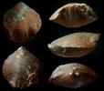 Brachiopode Septalaria descendens (SCHMIDT, 1975)
